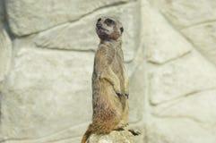 A curious meerkat royalty free stock photos