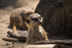 Curious meerkat. S sniffing arround Royalty Free Stock Photo