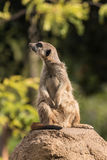 Curious meerkat Royalty Free Stock Photos