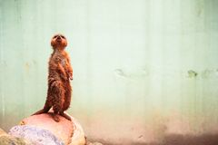 A curious meerkat or suricate Suricata suricatta looking upwards Royalty Free Stock Photos