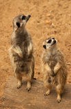 Curious Meerkat. Two curious meerkats looking on Stock Photo