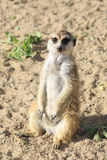 Curious meerkats. Royalty Free Stock Photos