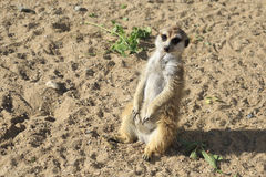 Curious meerkats. Royalty Free Stock Photography