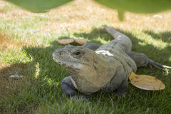 Curious Mexican Iguana Stock Image