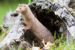 Curious mink looking out from his den Stock Photography