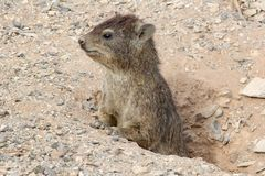 Curious Mongoose closeup, Namibia Stock Image