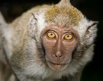 Curious Monkey Royalty Free Stock Photo