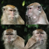Curious Monkey faces. These are long tailed macaques from Singapore. These live about 5oo metres from my house. Females have beards and sideburns Royalty Free Stock Photography