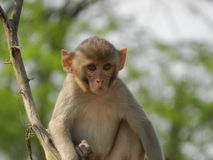 The curious monkey. A monkey looks on with a curious yet vigilant gaze Royalty Free Stock Photo