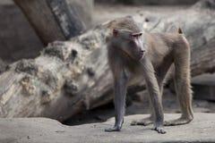 Curious monkey Stock Photos