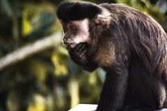 Curious Monkey Royalty Free Stock Photos