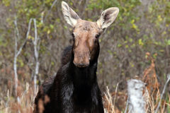 Curious Moose Stock Images