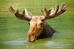 Curious Moose Royalty Free Stock Photo