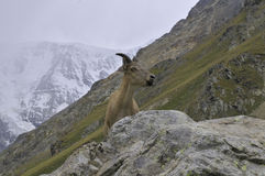 Curious mountain goat Stock Image