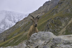 Curious mountain goat Stock Photo