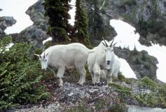 Curious Mountain goats, Gladys Pass Stock Photo