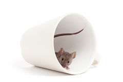 Curious mouse isolated on white royalty free stock photography