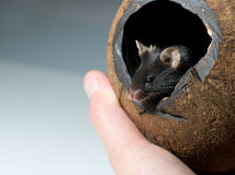 Curious mouse looks out. Curious black mouse looks out of cocos nut shelter; copyspace Stock Photo