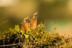 Curious mousebirds Stock Photo