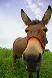 Curious mule Stock Photography