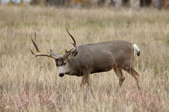 Curious Mule Deer Buck Royalty Free Stock Images