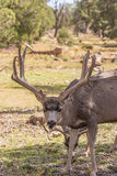 Curious Mule Deer Buck Royalty Free Stock Photography