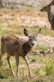 Curious Mule Deer Fawn Royalty Free Stock Photos