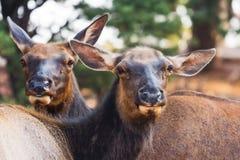 Curious mule deers Stock Image