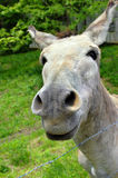 Curious Mule Royalty Free Stock Photography