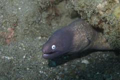 Curious Murena Eel off Padre Burgos, Leyte, Philippines. The diving around the small but vibrant town of Padre Burgos, is a real paradise for divers and macro Royalty Free Stock Image