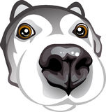 Curious muzzle Huskies. Vector big muzzle curious Huskies Royalty Free Stock Photography