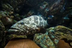Curious nassau grouper Royalty Free Stock Photo