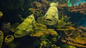 Curious nassau grouper Stock Images
