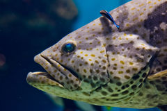 Curious nassau grouper Stock Photos