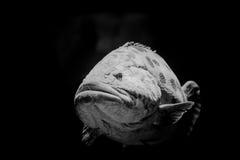 Curious nassau grouper Stock Photo