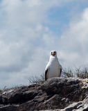 Curious nazca booby seabird on Galapagos Royalty Free Stock Photography