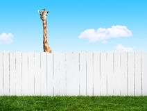 Curious neighbor Royalty Free Stock Photo