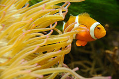 Curious nemo Stock Photography