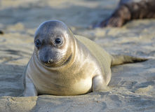 Elephant seal, new born pup or infant, big sur, california. Curious new born elephant seal pup / infant / baby looking at camera with wide eyes, big sur royalty free stock photography