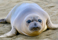 Elephant seal, new born pup or infant, big sur, california Royalty Free Stock Photography