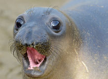 Elephant seal, new born pup or infant, big sur, california Stock Images