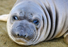 Elephant seal, new born pup or infant, big sur, california. Curious new born elephant seal pup / infant / baby looking at camera with wide eyes, big sur Stock Photo
