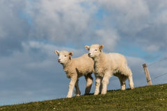 Curious newborn lambs Royalty Free Stock Images