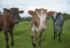 Curious Nguni calves looking at you Royalty Free Stock Photos