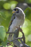 A curious noisy miner. A beautiful noisy miner sitting in a tree looking curiously at the photographer Royalty Free Stock Photos