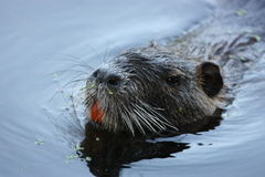 Curious Nutria royalty free stock photography