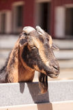 Curious Oberhasli goat Stock Photos