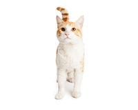 Curious Orange and White Cat Looking Up Stock Photography
