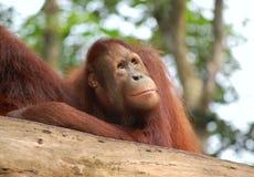 Curious Orangutang baby Royalty Free Stock Photos