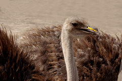 Curious ostrich Stock Photos